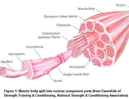 De opbouw van spieren